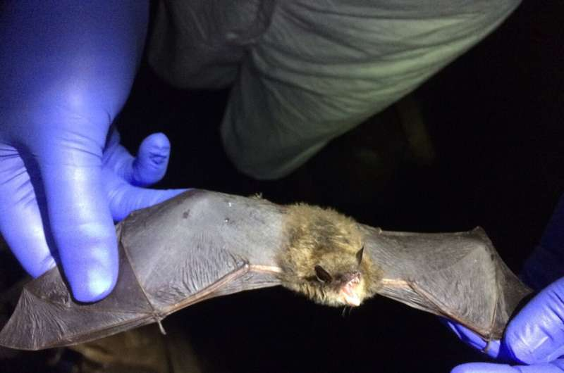 Deadly white-nose syndrome changed genes in surviving bats