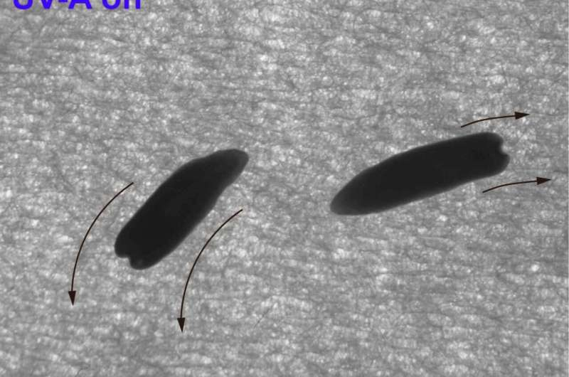 Decapitated flatworms still able to sense light