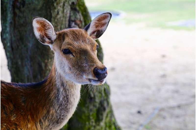 deer japan