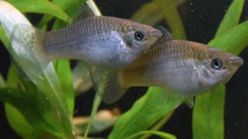 Defeating the enemy within: How evolution helps clone fish with their genetic burden