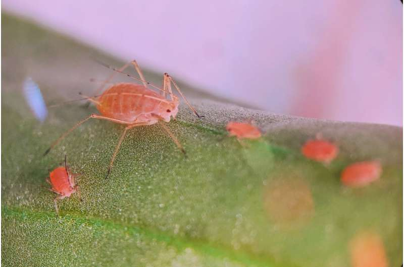 Defense mechanisms in aphids can become a double-edged sword, sharpened by the seasons