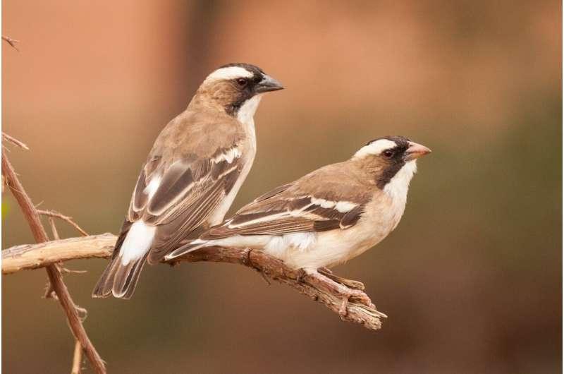 Desert teamwork explains global pattern of co-operation in birds