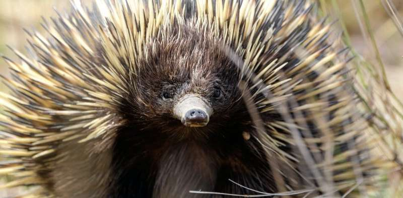 Dig this: a tiny echidna moves 8 trailer loads of soil a year, helping tackle climate change