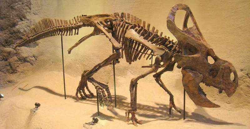 Dinosaur frills were likely the result of sexual selection