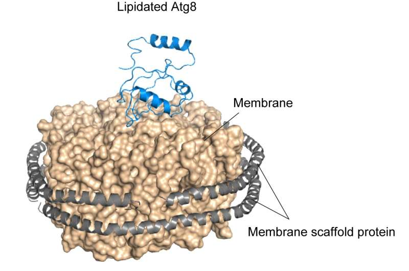 Discovery of a mechanism for efficient autophagosome formation