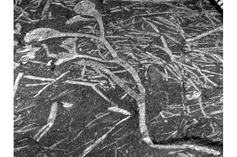 Discovery of the oldest plant fossils on the African continent!