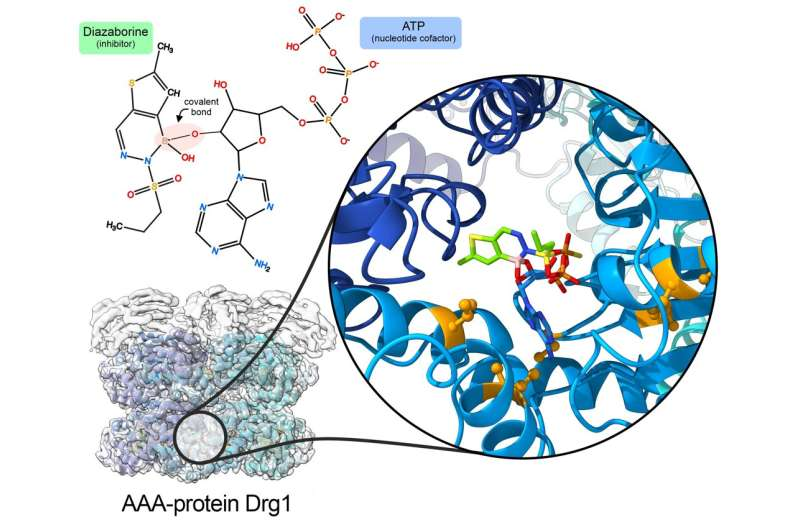 Disrupting ribosome production – renewed potential for cancer therapy