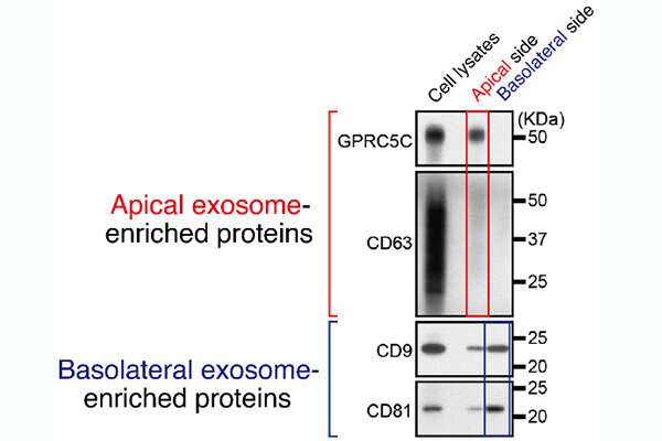 Distinct cell-to-cell communication processes controlled differently