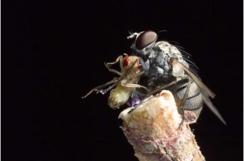 Dive bombing killer flies are so fast they lose steering control
