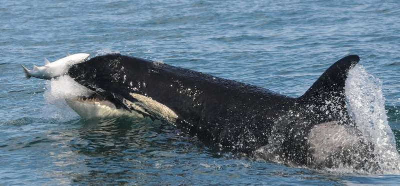 Diversity of fish species supply endangered killer whale diet throughout the year