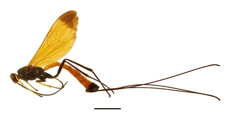 Dolichomitus meii wasp discovered in Amazonia is like a flying jewel