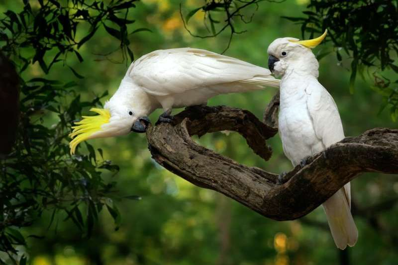 Don't disturb the cockatoos on your lawn, they're probably doing all your weeding for free