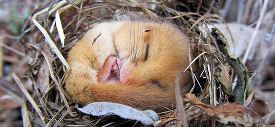 Dormice may have hibernated as early as 34 million years ago