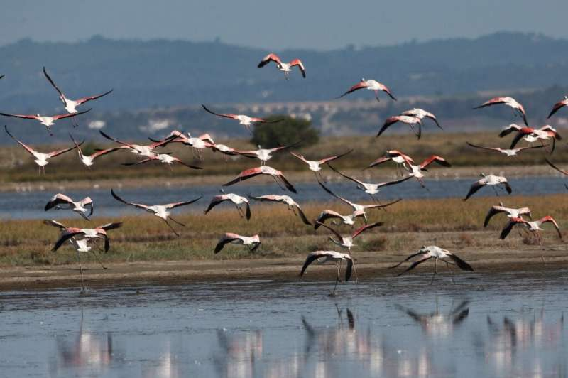 Dozens of the flamingos have died in the wetlands of Agios Mamas after ingesting lead shot, according to the Action for WildLife