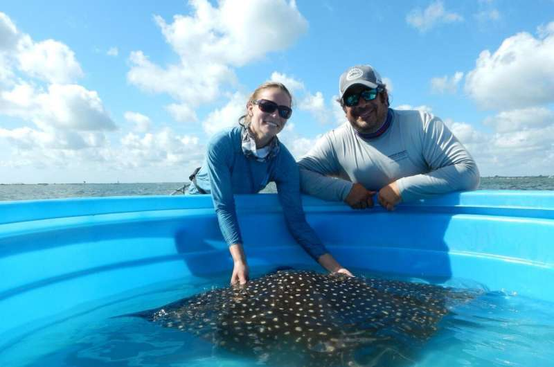 Drifter or homebody? Study first to show where whitespotted eagle rays roam