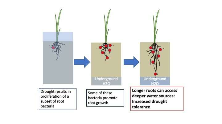 Drought changes rice root microbiome