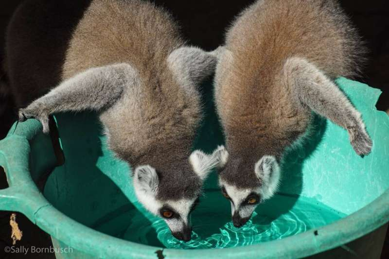 Drug-resistant bacteria found in the guts of lemurs who live around humans