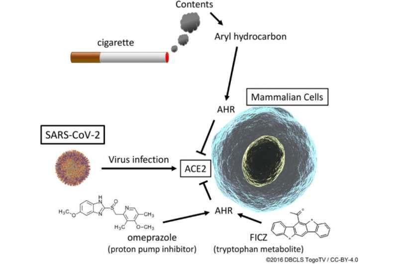 Drugs that mimic effects of cigarette smoke reduce SARS-CoV-2's ability to enter cells