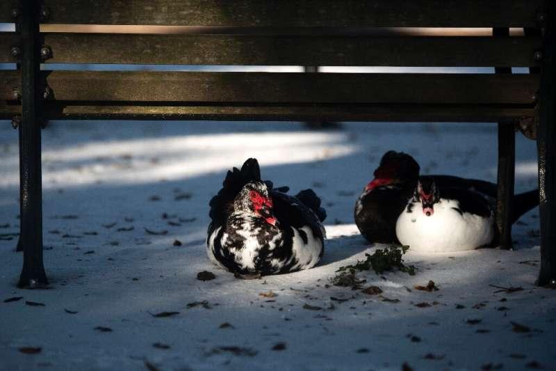 Ducks huddle under a Houston bench