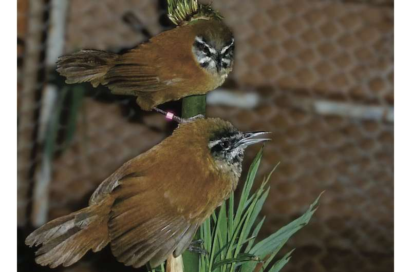 Duetting songbirds 'mute' the musical mind of their partner to stay in sync