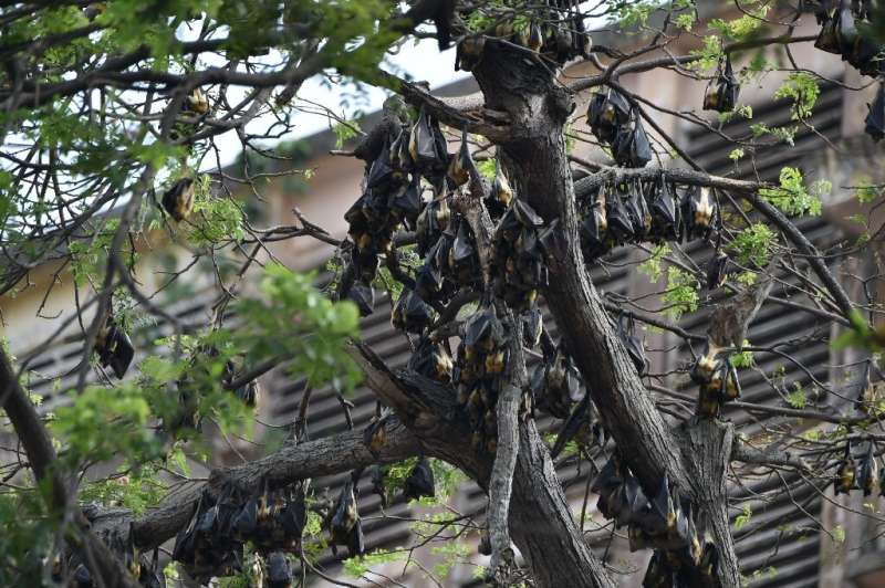 During the daytime, the bats hang from trees in the Plateau, Abidjan's business district