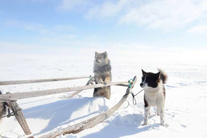 Early long-distance trade links shaped Siberian dogs, study finds