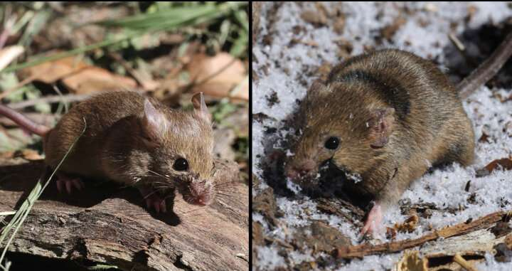 Eastern and Western house mice took parallel evolutionary paths after colonizing US