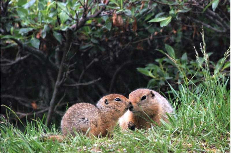 Eating omega-3 fat helps hibernating Arctic ground squirrels warm up during deep cold