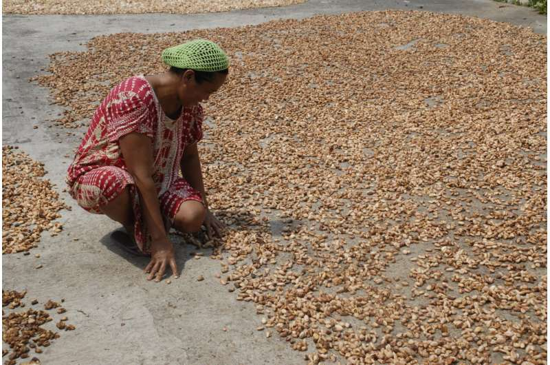 El Niño can help predict cacao harvests up to 2 years in advance