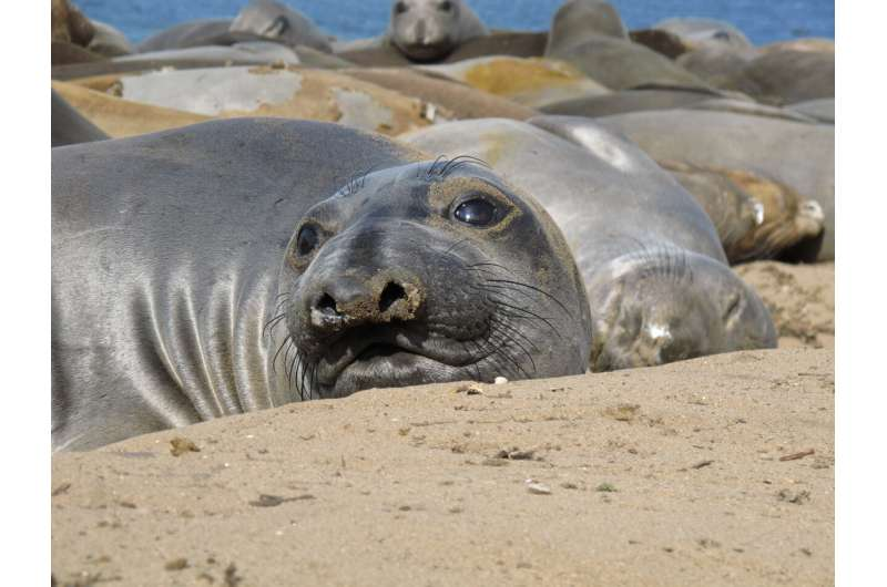 Elephant seal diving mystery solved: 24-hour feeding could be climate change sentinel