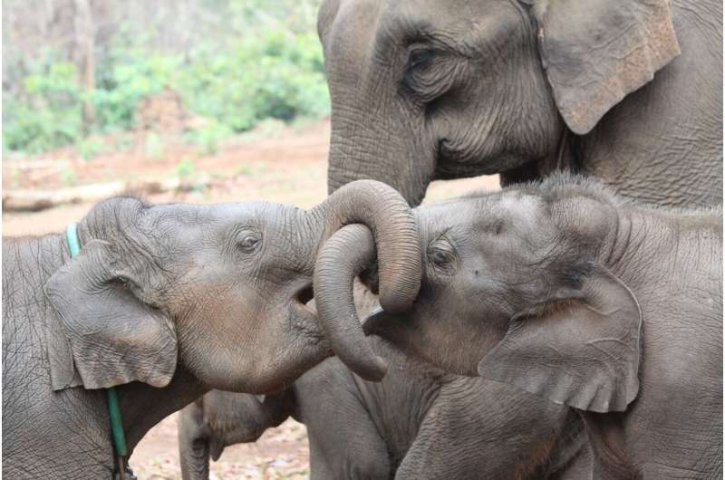 Elephants benefit from having older siblings, especially sisters