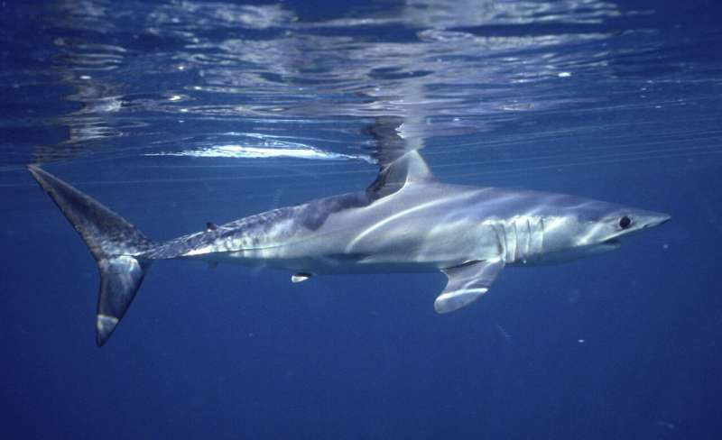 Empty seas: Oceanic shark populations dropped 71% since 1970
