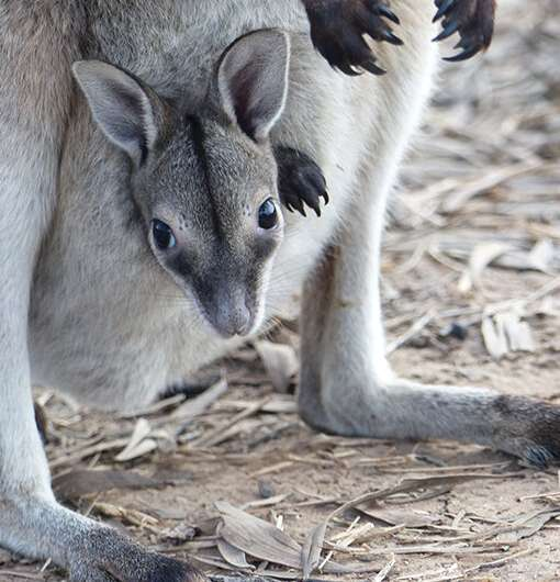 Endangered wallaby population bounces back after ferals fenced out