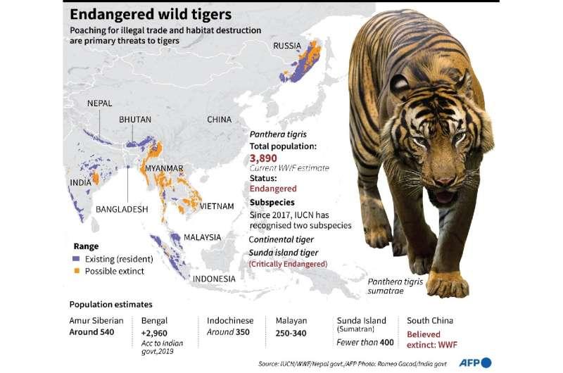 Endangered wild tigers