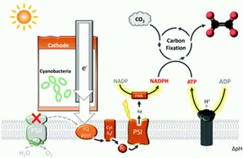 Engineered cyanobacteria uses electricity to turn carbon dioxide into fuel