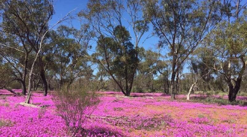 Enhancing revegetation of old fields in Western Australia