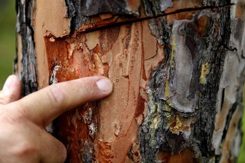 Entomologist Nabil Nemr inspects a sick pine tree in search for harmful insects at the pine forest of Qsaybeh south of Beirut