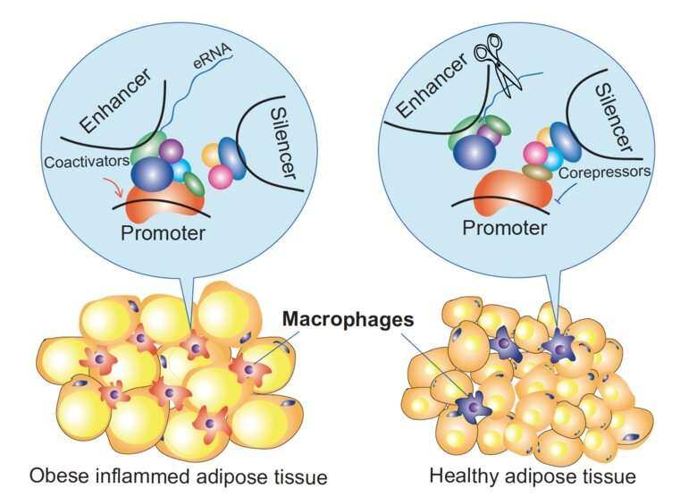 Epigenetic mechanisms that regulate macrophage inflammation discovered