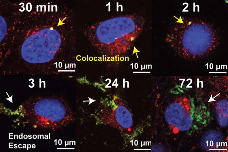 Escape from the endosome: Innovative approach could prove valuable for developing new medicines