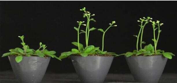 ETHYLENE RESPONSE FACTOR1 regulates flowering in arabidopsis