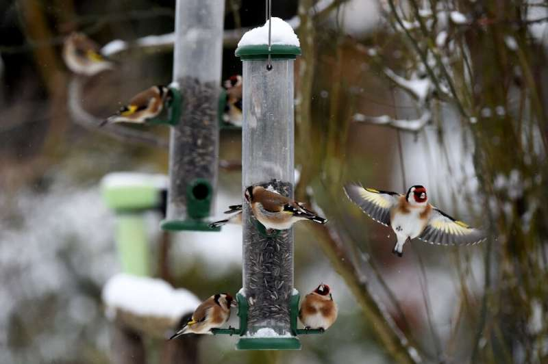 European goldfinches are among 43 common species in decline
