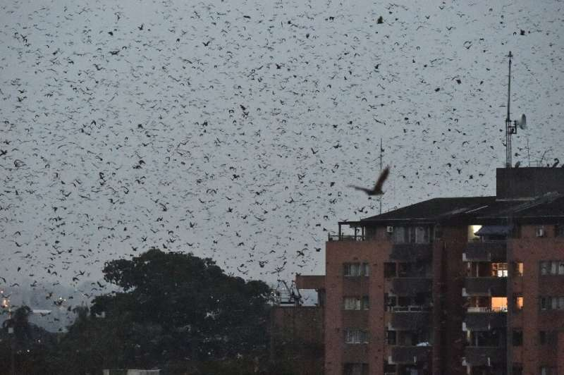 Every night, clouds of bats leave their roosts in Abidjan's business district and head for a nearby forest, where they feast on