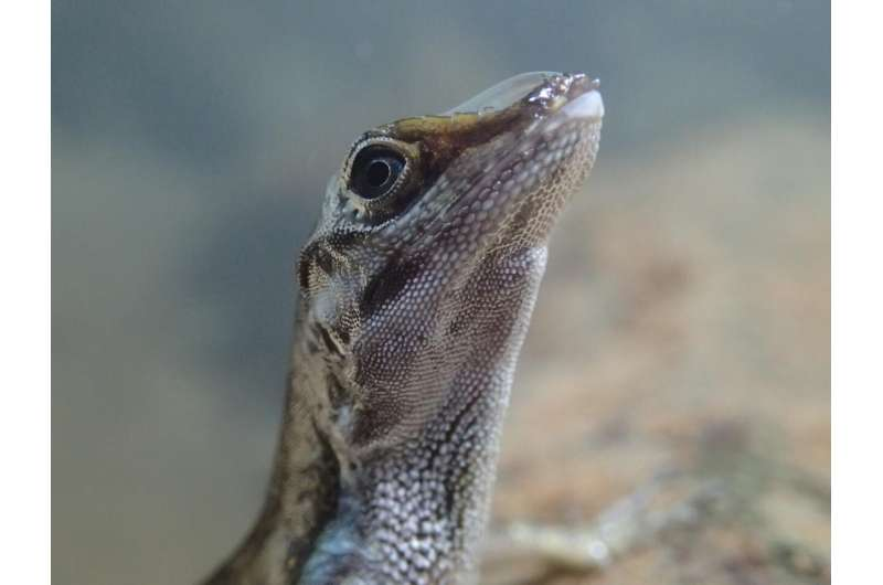Evolutionary biologists discover mechanism that enables lizards to breathe underwater