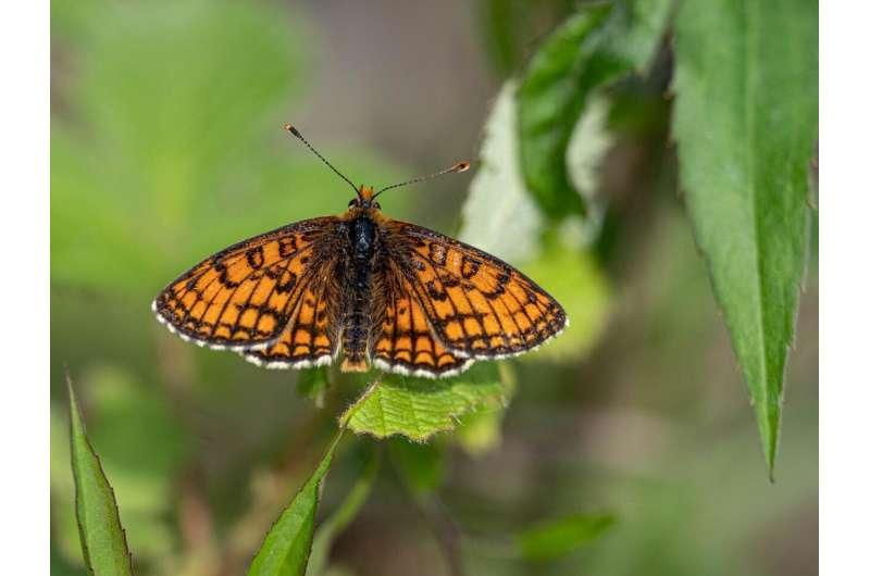 El exceso de nitrógeno pone en riesgo a las mariposas