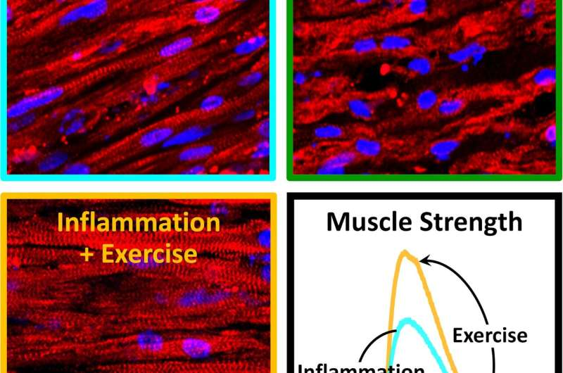 Exercising muscle combats chronic inflammation on its own