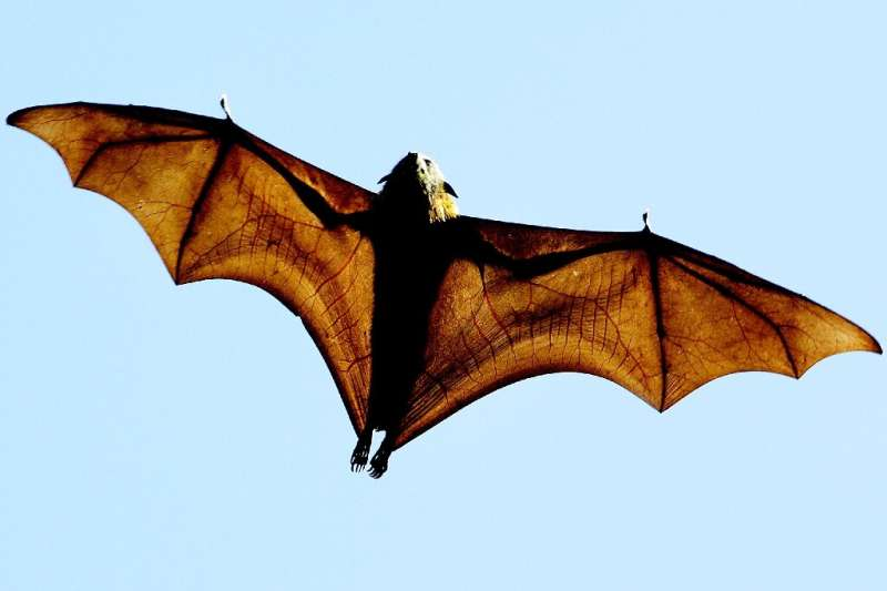 Experts are studying the exceptional longevity of bats in the hope of discovering benefits for humans