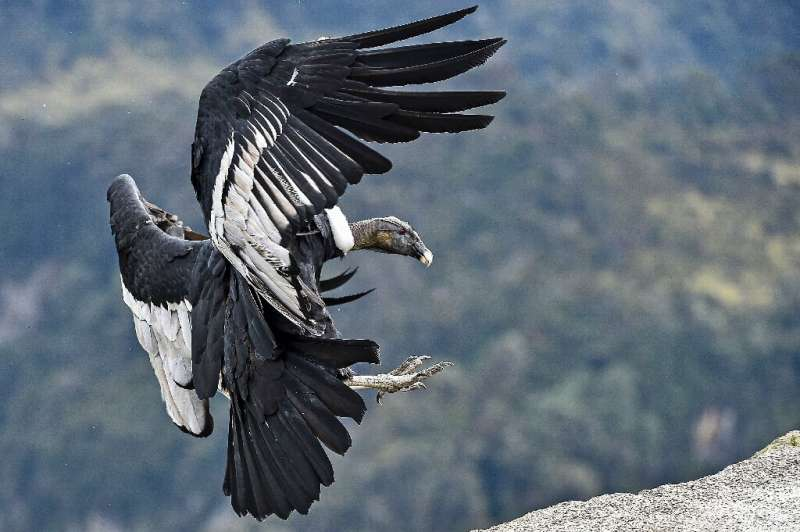 Experts believe there are just 130 condors left in the Colombian Andes