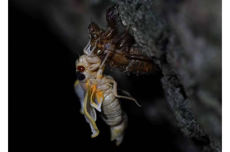 EXPLAINER: What are cicadas and why do they bug some people?