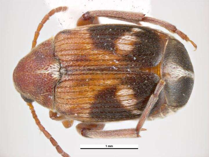Extra-long spiny male genitalia shows benefit for female seed beetles
