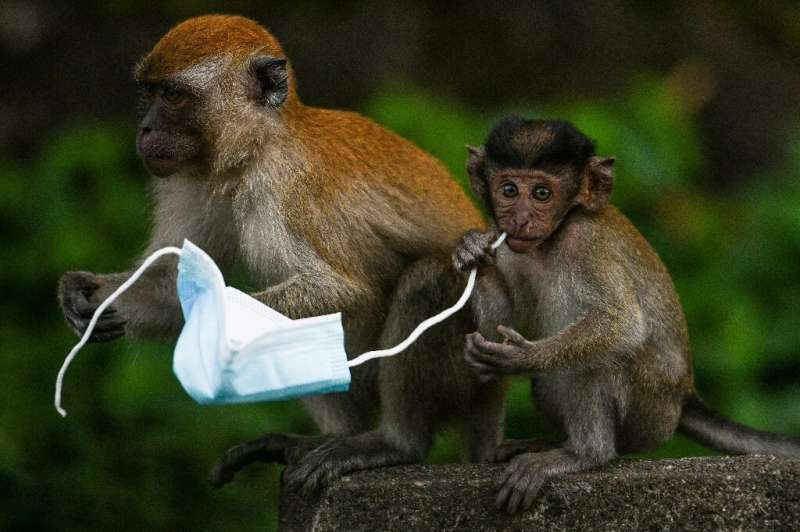 Face masks are proving a deadly hazard for wildlife—a chocking hazard for diminutive macaque monkeys, for example